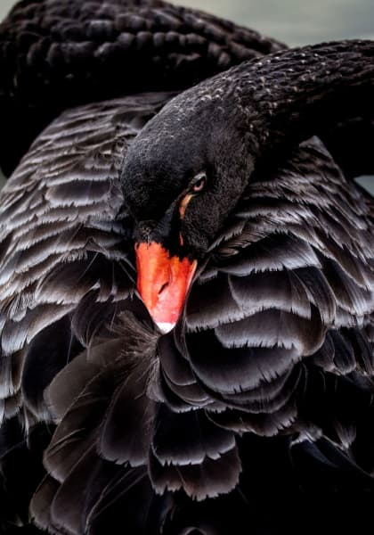 black swan curled up