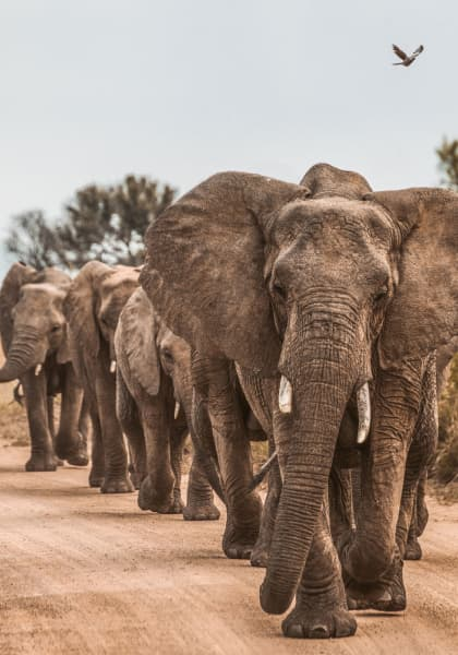 four elephants walking in a line down a dirt path
