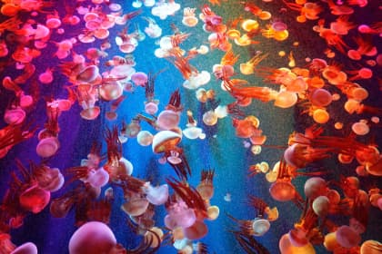 a lot of colorful jellyfish in the ocean