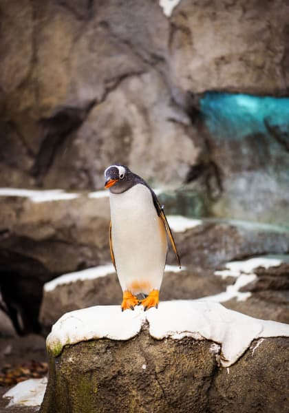 penguin on a snow covered rock